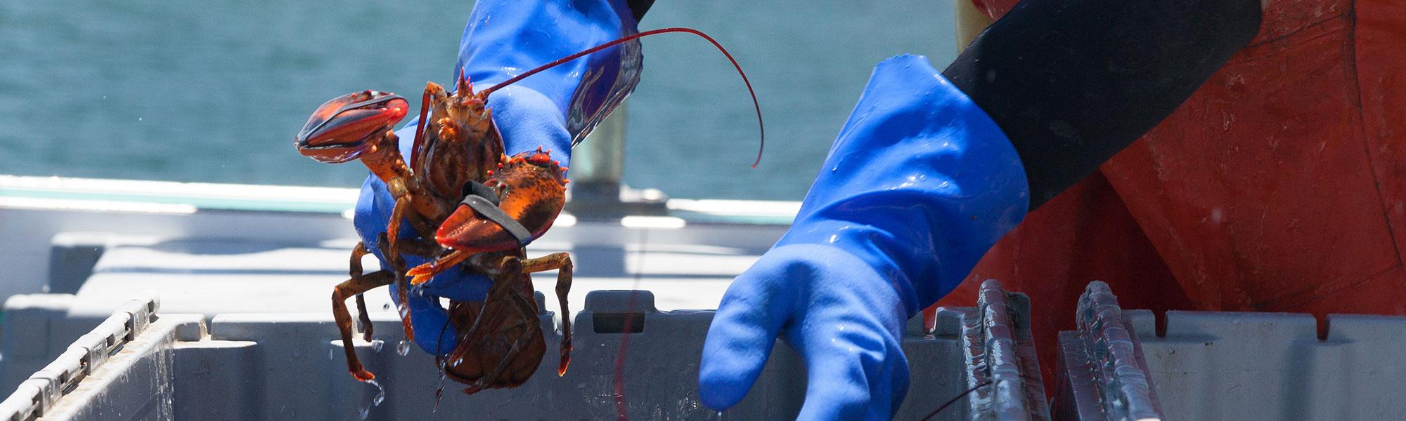 Stonington, Maine Lobsters
